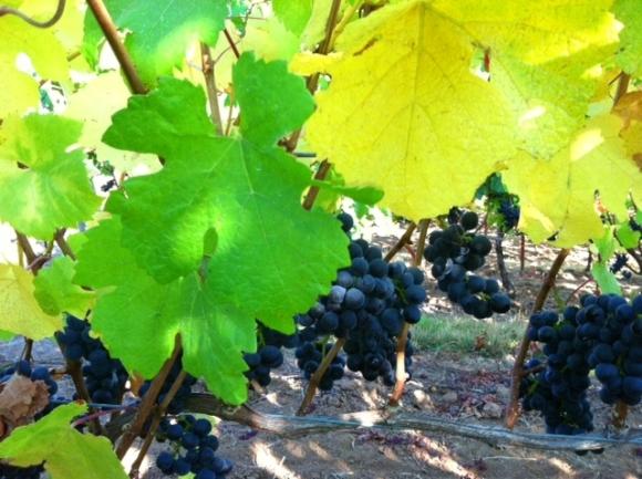 Bergstrom Grapes