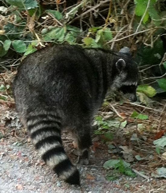 stanley park racoon